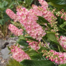 Clethra ruby spice