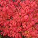 Euonymus-unforgetable-fire