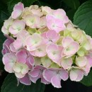 Hydrangea-wedding-ring-