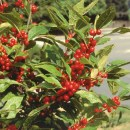 Ilex Winter red