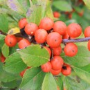 Ilex-Little-goblin-orange