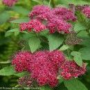 Spiraea-double-play-red