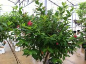 Weigela Red Prince tree5