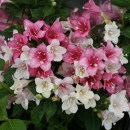 Weigela-Czechmark-trilogy