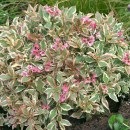 Weigela-my-monet