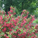 Weigela-red-prince