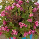 weigela-date-night-strobe